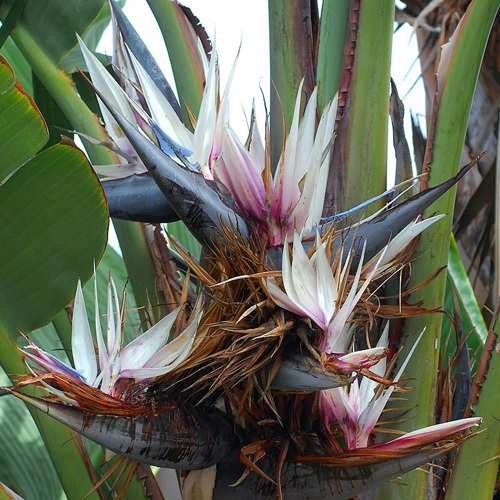 Giant White Bird of Paradise 'Strelitzia Nicolai'