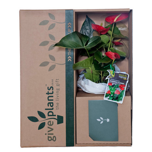 Anthurium Red Flowers & Red Pot - Delivery NZ Wide