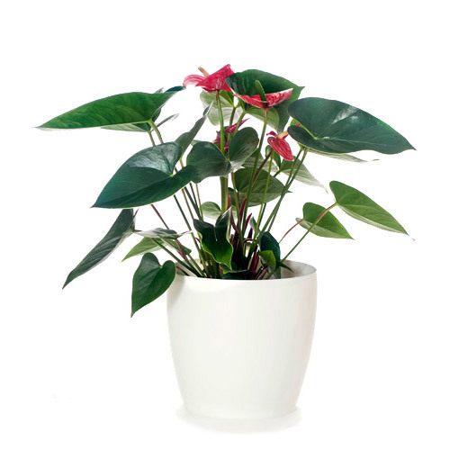 Anthurium Red Flowers & White Pot - Delivery NZ Wide