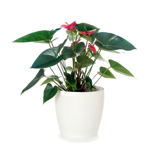 Anthurium Red Flowers & White Pot - Housewarming or Bereavement Gift Plant - Delivery NZ Wide