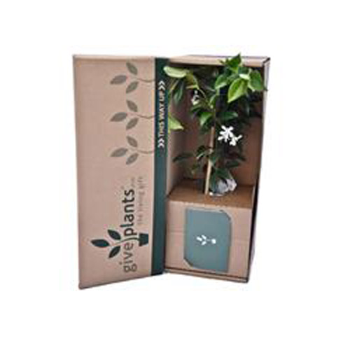 Jasmine White Flowers - Housewarming or Bereavement Gift Plant - Delivery NZ Wide