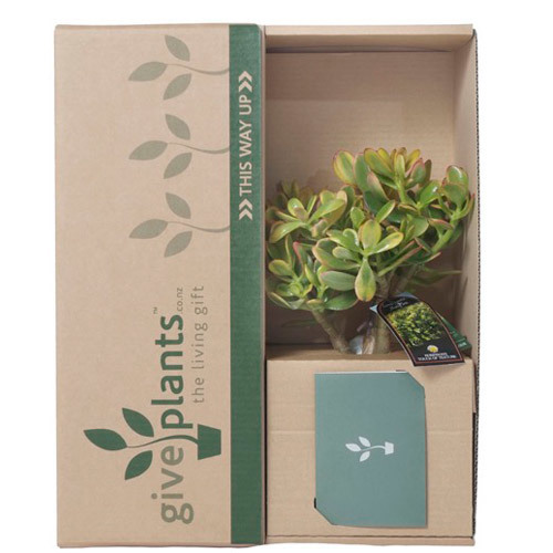 Money Tree & Red Pot - Housewarming Gift Plant - Delivery NZ Wide