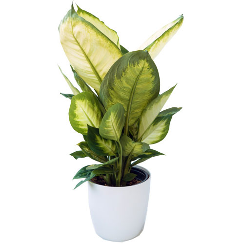 Dieffenbachia - Delivery NZ Wide