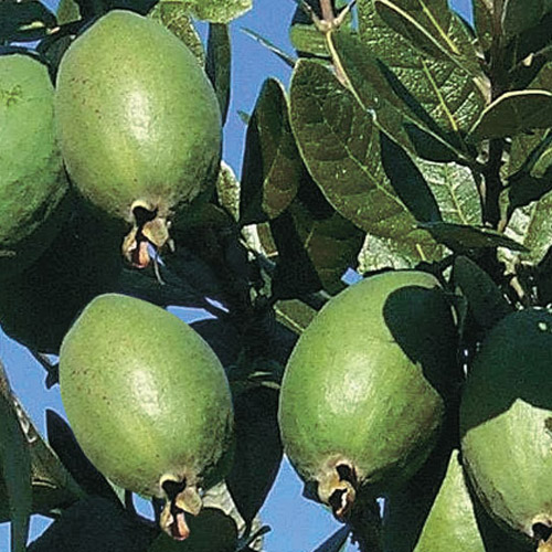 Feijoa Tree Images