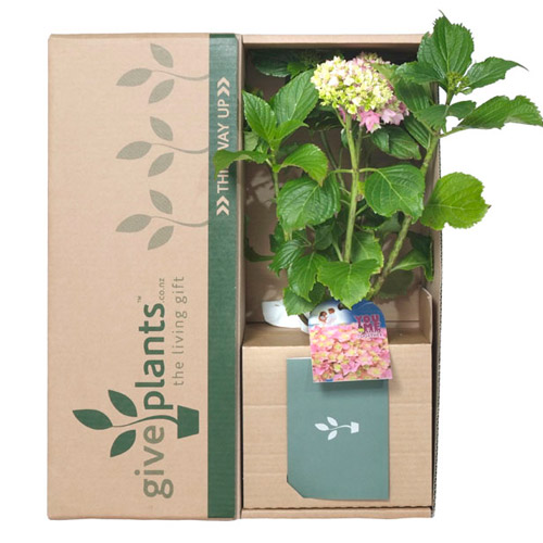 Hydrangea - Housewarming or Bereavement Gift Plant - Delivery NZ Wide
