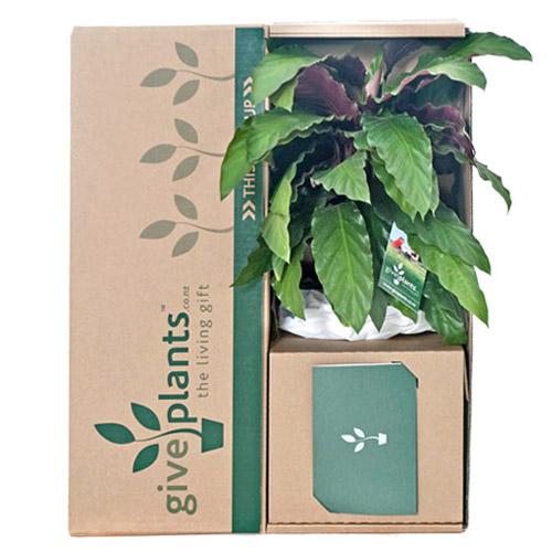 Indoor foliage calathea rufibarba white pot for Indoor plant gift ideas