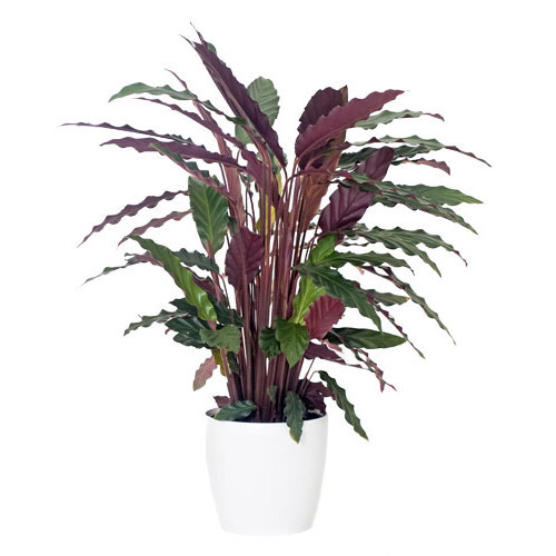 Calathea - Striking Dark Olive Leaves with a White Pot - Plant Delivery NZ Wide