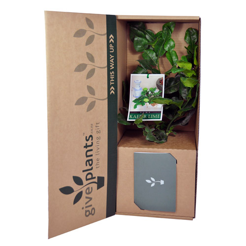 Kaffir Lime Tree - Housewarming or Bereavement Gift Plant - Delivery NZ Wide