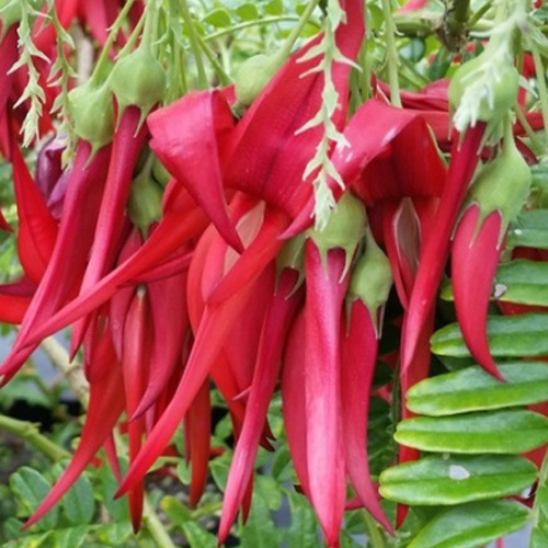 Kaka Beak Pink Flowers - Housewarming or Bereavement Gift Plant - Delivery NZ Wide