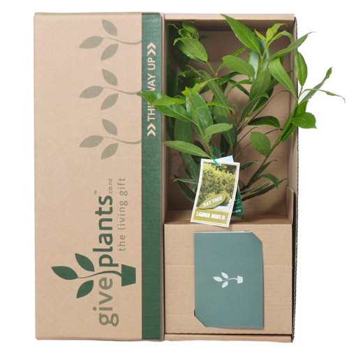 Bay Tree - Bereavement or Housewarming Gift Plant - Delivery NZ Wide