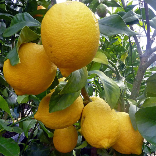 Meyer Lemon Tree - Bereavement & Housewarming Gift Plant - Delivery NZ Wide