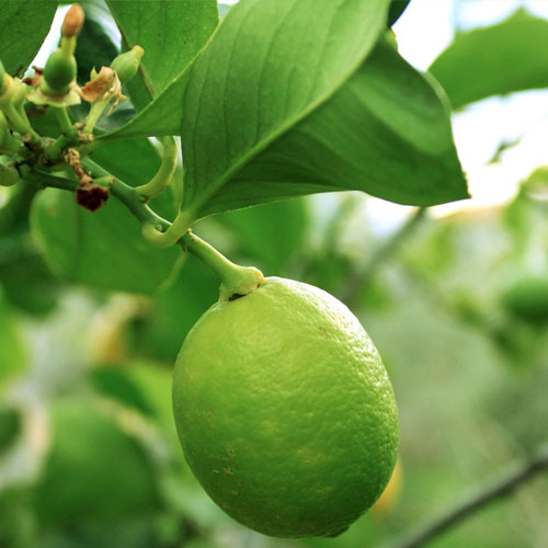 Lime Tree - Bereavement or Housewarming Gift Plant - Delivery NZ Wide