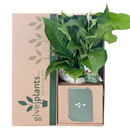 Peace Lily White Flowers - Bereavement or Housewarming Gift Plant - Delivery NZ Wide