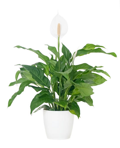 Peace Lily White Flowers - Delivery NZ Wide