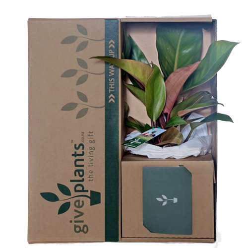 Philodendron - Delivery NZ Wide