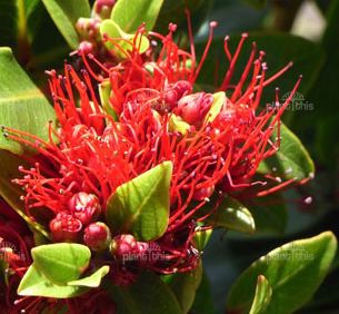 Metrosideros Vibrant Red Flowers - Delivery NZ Wide