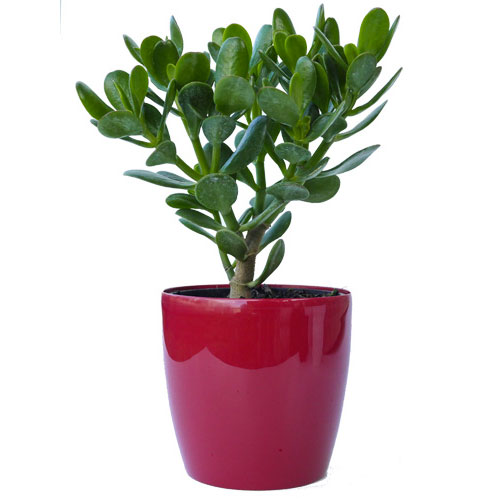 Crula Flowering Money Tree With A Red Pot Plant Delivery Nz Wide
