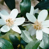 Michelia White Flowers - Bereavement or Housewarming Gift Plant - Delivery NZ Wide